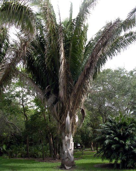Attalea cohune - Cohune Palm