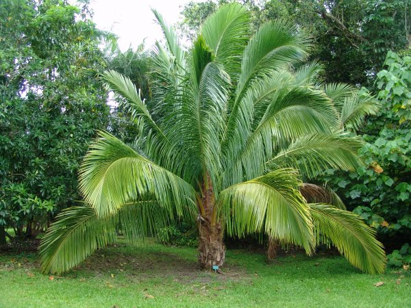 Beccariophoenix madagascariensis - Manarano Palm