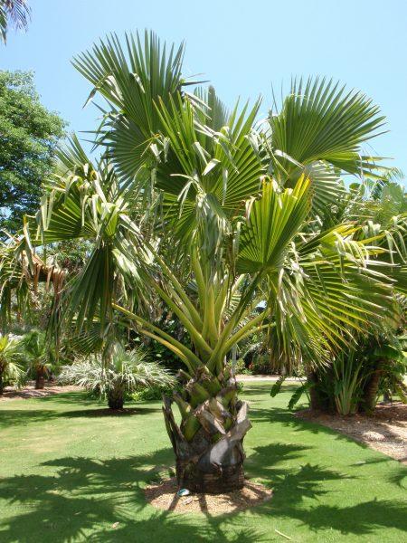 Borassus flabellifer - Palmyra Palm