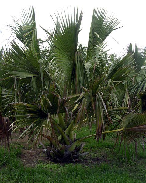 Borassus madagascariensis