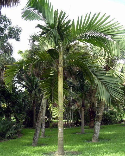Chambeyronia macrocarpa 'Hookeri' - Flame Palm