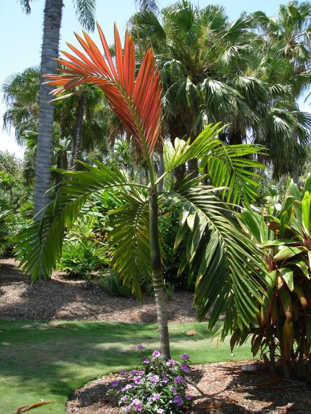 Chambeyronia macrocarpa - Red Feather Palm