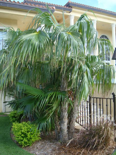 Coccothrinax barbadensis - Barbados Thatch Palm