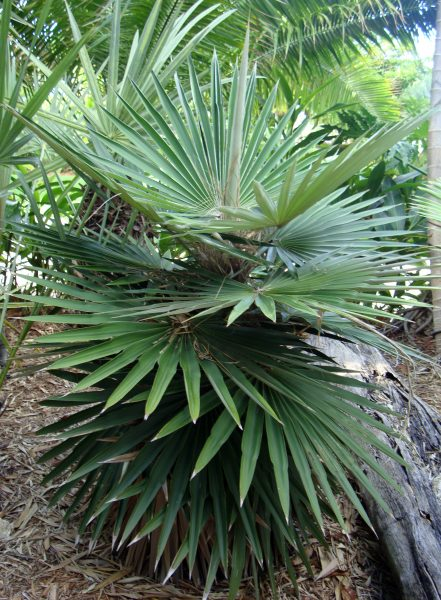 Coccothrinax borhidiana - Borhidi Palm