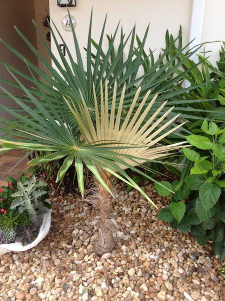 Coccothrinax crinita sp brevicrinus - Short Hair Old Man Palm