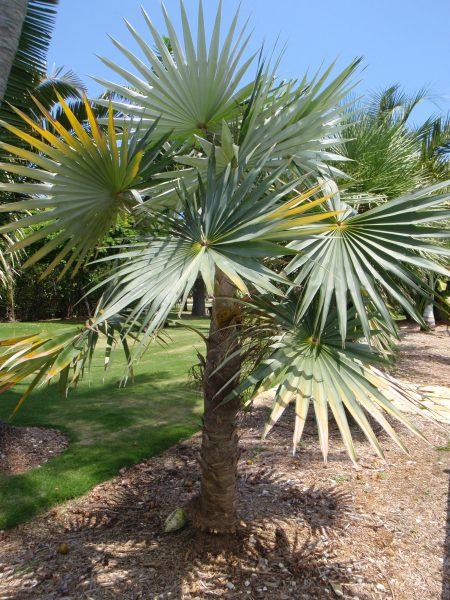 Coccothrinax miraguama - Miraguama Palm