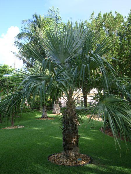 Coccothrinax spissa - Guano Palm