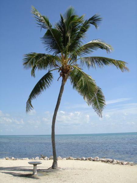 Cocos Nucifera - Green Malayan Coconut
