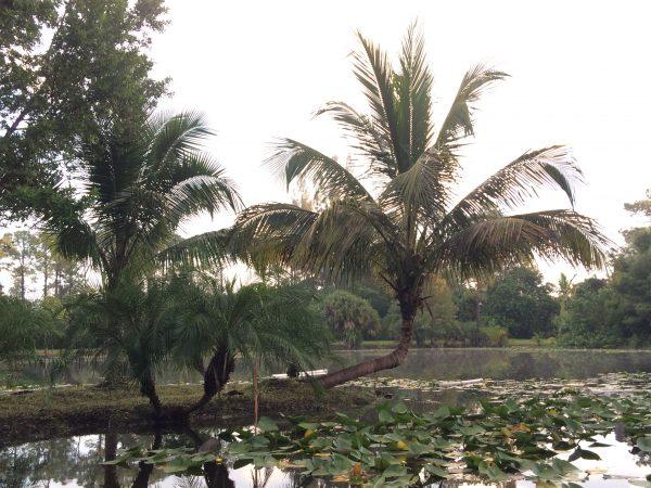 Cocos nucifera curved - Green Malayan Coconut