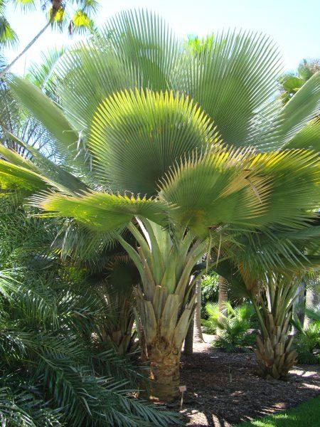 Copernicia fallaensis - Falla Palm