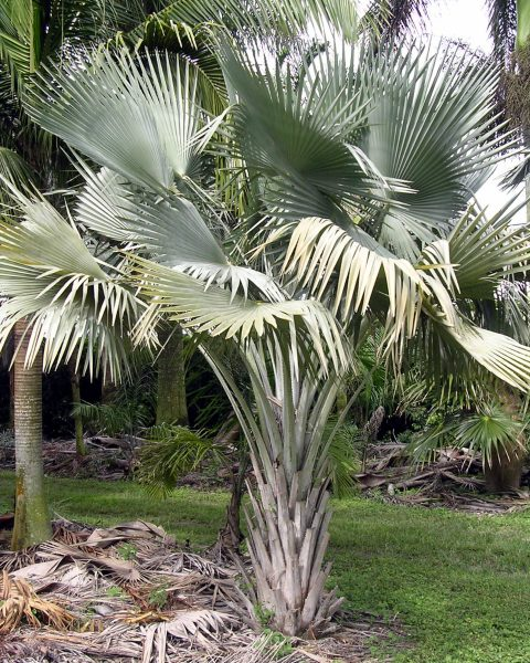 Copernicia hospita - Cuban Wax Palm
