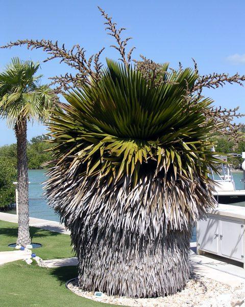 Copernicia macroglossa - Cuban Petticoat Palm