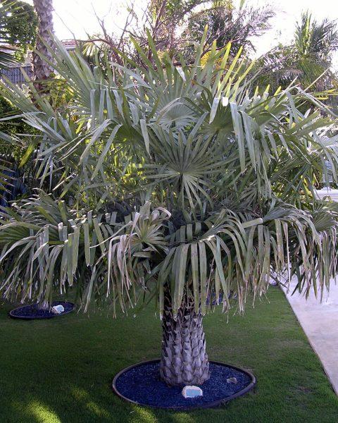 Copernicia prunifera - Carnauba Wax Palm - Juvenile