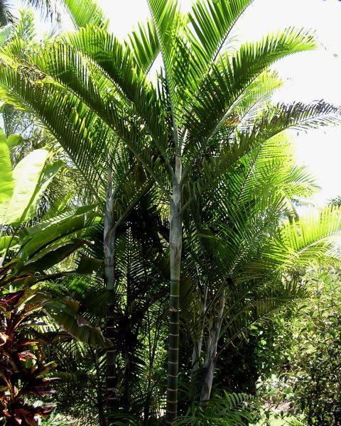 Dypsis cabadae - Cabada Palm