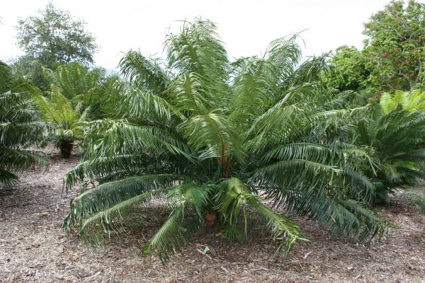 Encephalartos gratus
