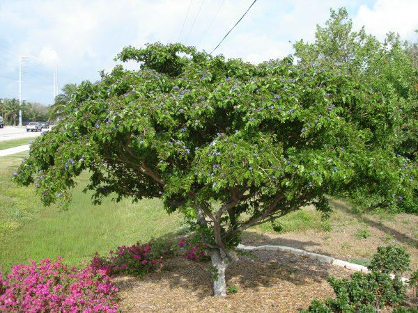 Guaiacum sanctum - Lignum Vitae