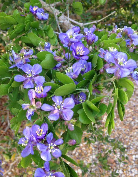 Guaiacum sanctum - Lignum Vitae Flower Detail