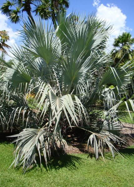 Hyphaene coriacea - Doum Palm