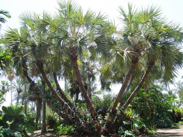 Hyphaene thebaica - Gingerbread Palm