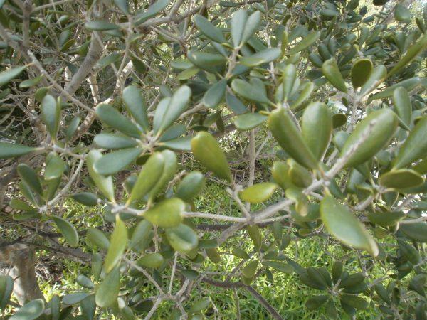 Jacquinia arborea leaves