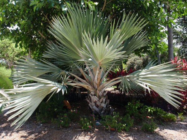 Latania loddigesii - Blue Latan Palm