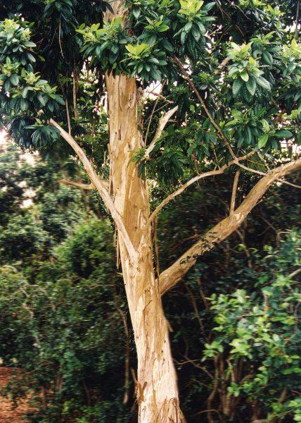 Pimenta dioica - Allspice
