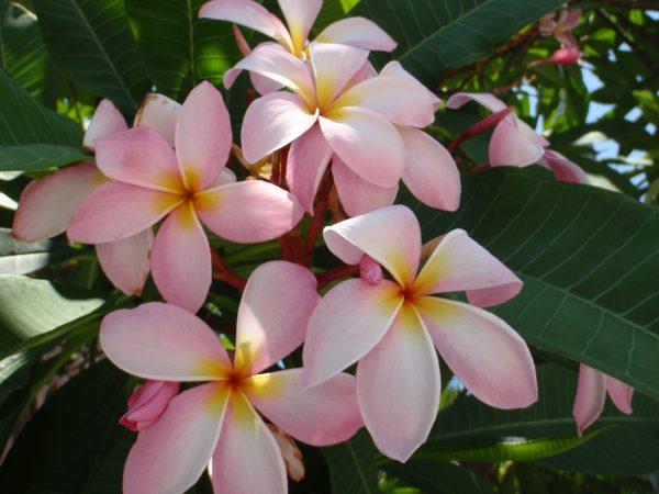 Plumeria 'Light Pink' - Frangipani