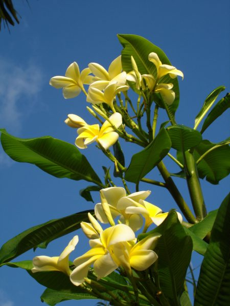 Plumeria Yellow Frangipani flowers