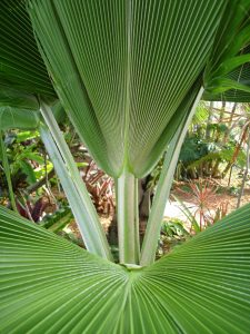 Pritchardia pacifica - Fiji Fan Palm - Leaves Detail