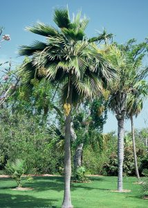 Pritchardia thurstonii - Thurston Palm