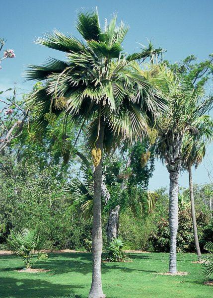 Pritchardia thurstonii - Thurston Palm