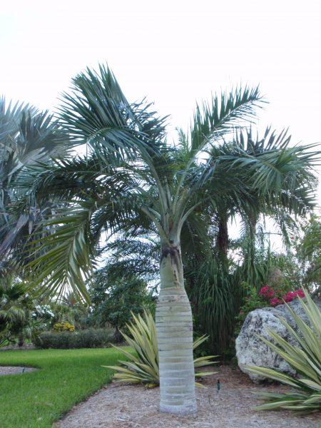 Pseudophoenix sargentii - Buccaneer Palm