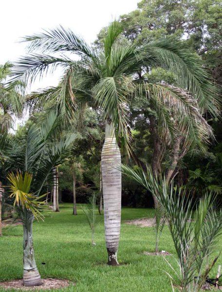 Pseudophoenix vinifera - Wine Palm