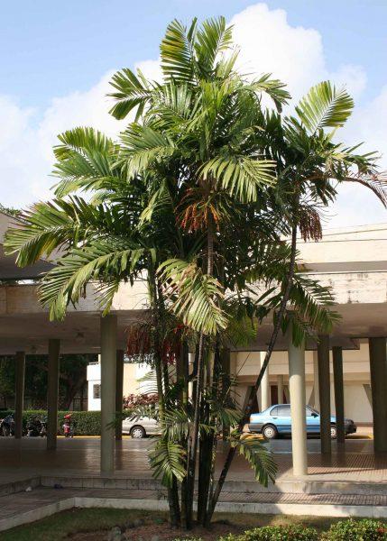 Ptychosperma macarthurii - Macarthur Palm