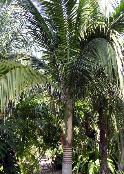 Satakentia liukiuensis - Satake Palm