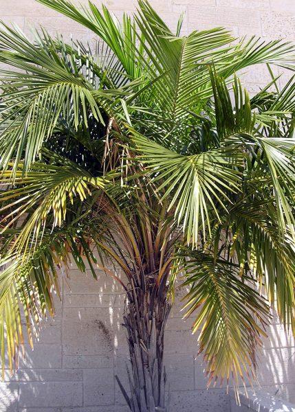 Syagrus schizophylla - Arikury Palm