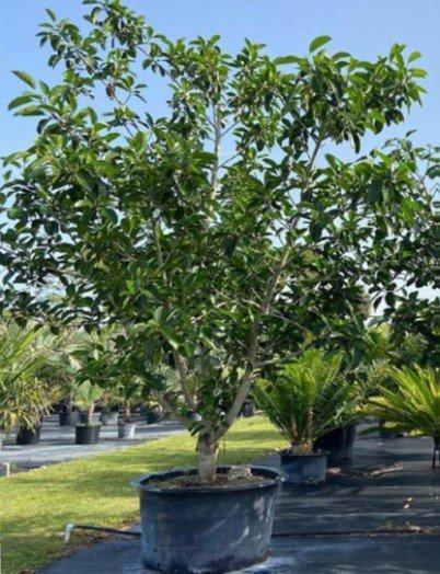 Ficus benghalensis- Banyan